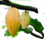 масло Какао рафинированное пищевое