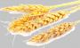 масло Зародышей пшеницы рафинированное