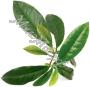 сухой экстакт Зеленого чая