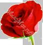 гидролат Розы органический (розовая вода)