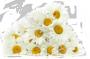 цветки Ромашки цельные